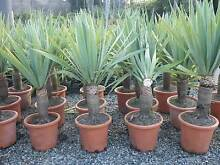 Dragon Trees    grower direct perth shrub tree Darch Wanneroo Area Preview