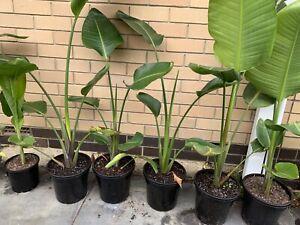 Big Bird of Paradise Plants in Plastic Pot