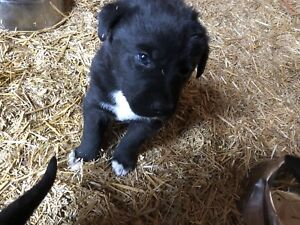 Black lab/border collie pups ready to go!