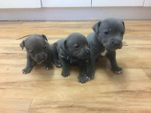 Purebred Blue English Staffordshire pups, papered (staffy) Dromedary Brighton Area Preview