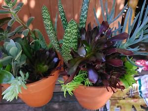 Succulent pots Bidwill Blacktown Area Preview