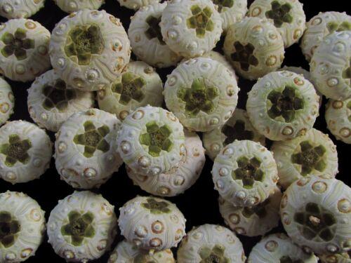 Sea urchin test 29-38mm - 45pcs