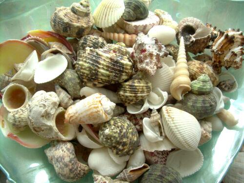 2 Lbs. Mixed Natural Sea Shells Crafts Decorating Aquarium Lot FREE Ship!
