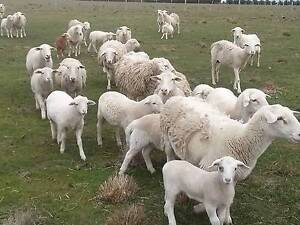 Dorper Young Lambs For Sale Tullamarine Hume Area Preview