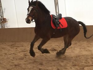 17.2hh gelding for Part Board