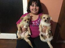 Chihuahua/Pomeranian/Papillon . Campbelltown Campbelltown Area Preview