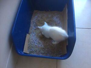 White Russian kitty Casula Liverpool Area Preview