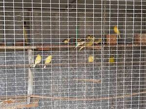 Aviary, with Safety Door with 20 Canaries Beckenham Gosnells Area Preview