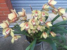 Orchid plant large with flowers Mill Park Whittlesea Area Preview