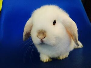 Mini lop baby rabbit purebred Willetton Canning Area Preview