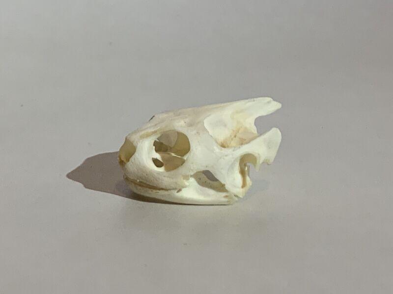 Turtle skull Crafts Jewlery Educational Taxidermy Oddity Craft Art