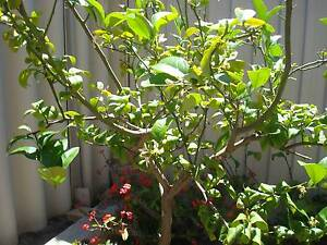 Fruit trees  Mature MEYER LEMON Inglewood Stirling Area Preview
