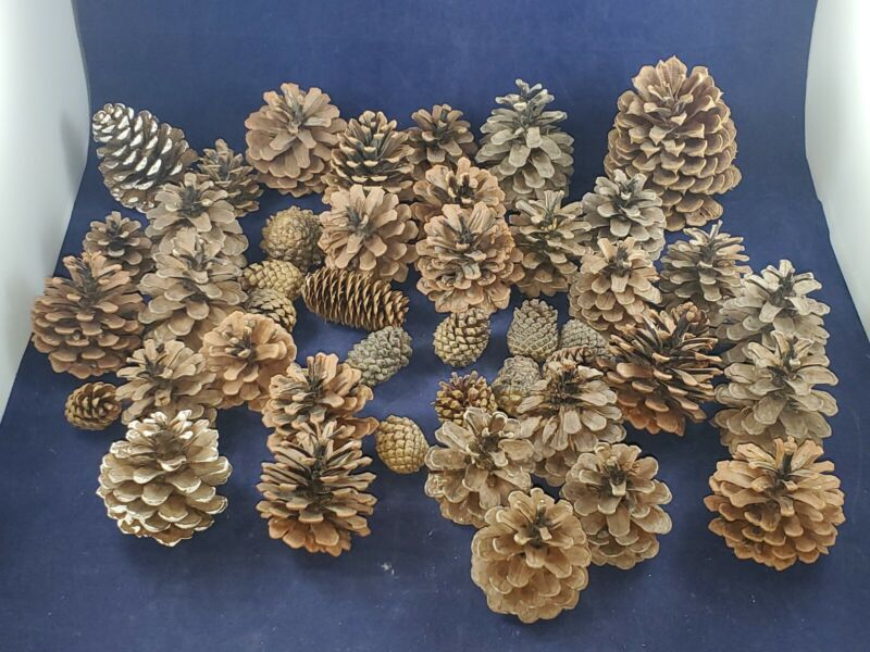 Pine Cones 46 Natural Spruce Arts & Crafts Real Decor Christmas