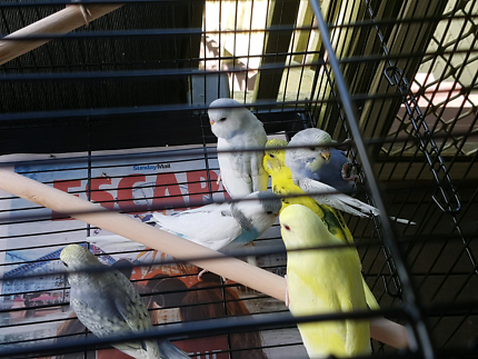 15 x hand tame baby budgies 6 to 9 weeks old forsale  $50 each