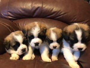 Saint Bernard Puppies!