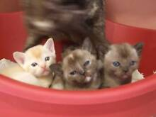 Beautiful Burmese Kittens For Sale Downer North Canberra Preview