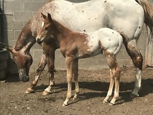 2018 Registered Appaloosa Colt