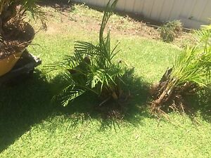 Four small palm trees Maryland Newcastle Area Preview