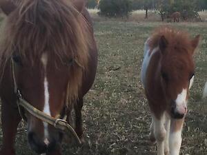 Mini ponies for sale Tocumwal Berrigan Area Preview