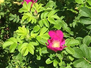 Do you have Wild Roses for charity memorial garden