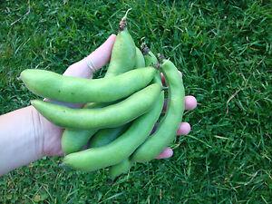 Broad Bean Long Pod 10 Seeds Fava Faba Winter Vegetable Garden Green Manure Crop
