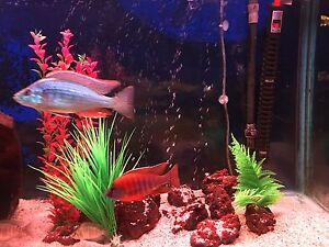 Ruby red cichlids  red cichlids Glenmore Park Penrith Area Preview
