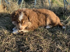 Miniature Australian Shepherd Puppies!