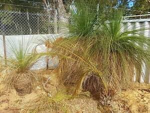 Grass trees Marangaroo Wanneroo Area Preview