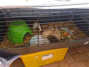 Guinea Pigs and accessories Barrack Heights Shellharbour Area Preview