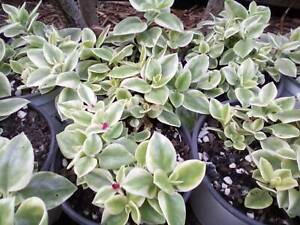 Aptenia Variegated Pink (Baby sunrise succulent ground cover)