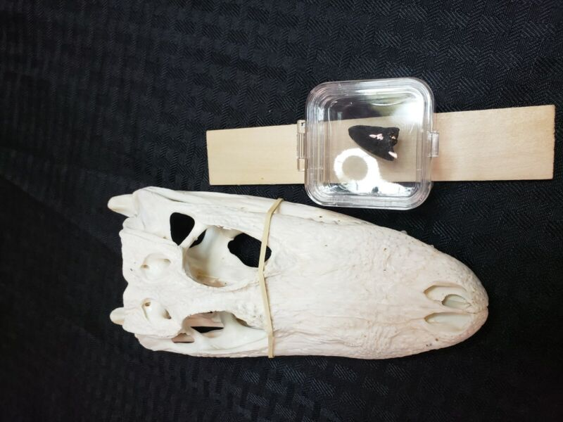 🐊 Alligator skull 6 to 8 in, small with fossil alligators tooth both real
