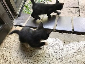 Ragdoll x Domestic Short Hair Kittens for sale Tallebudgera Valley Gold Coast South Preview