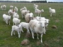 Dorper Breeding Ewes For Sale Tullamarine Hume Area Preview