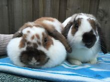 Mini lop female Craigieburn Hume Area Preview