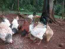 Chicken Brood For Sale Tarzali Tablelands Preview