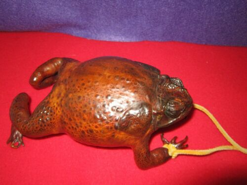 Vintage Taxidermy Real Bull Frog Coin Purse w Zipper in Belly - Excellent