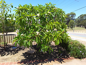 $500 frangipani Beldon Joondalup Area Preview
