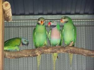 MOUSTACHE PARROTS,1 x Dna sexed male . Young Young Area Preview