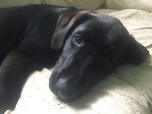 D's Labs ready for his forever home