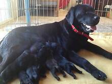Labrador Puppies for sale. West Perth Perth City Preview