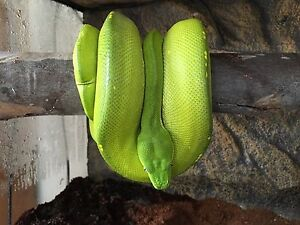 Female green tree Python Woodside Adelaide Hills Preview