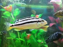 Auratus cichlid fish for sale Liverpool Liverpool Area Preview