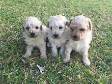 PUREBRED TOY POODLE PUPPY GIRL FOR SALE Liverpool Liverpool Area Preview