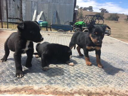 Kelpie cross collie puppies