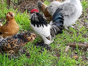 Friendly rooster Gawler South Gawler Area Preview