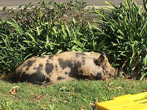 Small breed pig Bridgewater Adelaide Hills Preview