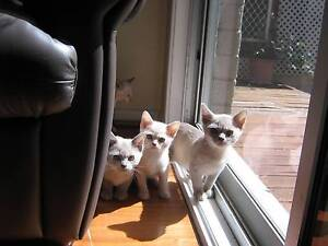 BEAUTIFUL BURMESE KITTENS FOR SALE Milperra Bankstown Area Preview