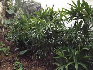 Rhapis Palms Mosman Mosman Area Preview