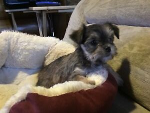 Yorkie x Shih-tzu poo delivery available to some areas