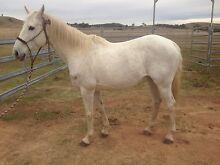 11 yr old mare Bridgman Singleton Area Preview